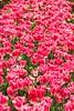 Backlit pink tulips, backlighting rules! (taszee63) Tags: tasmania tulips flowers tablecape backlit pink sunshine backlighting white