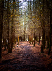 The Pine Forest at Crompton Moor (Missy Jussy) Tags: pineforest forest woodland wood trees cromptonmoor moors shaw oldham saddleworth landscape lancashire sunlight path canon canon5dmarkll 50mm ef50mmf18ll canon50mm fantastic50mm