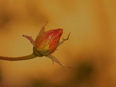 Brillant - Bright (p.franche occupé - buzy) Tags: bouton bud fleur flower macro nature bokeh superbokek sony sonyalpha65 objectifminolta minoltalens minolta beercan vintage hdr dxo photolab bruxelles brussel brussels belgium belgique belgïe europe pfranche pascalfranche schaerbeek schaarbeek blume 花 blomst flor פרח virág bunga bláth blóm bloem kwiat цветок kvetina blomma květina ดอกไม้ hoa زهرة orange rose garden jardin