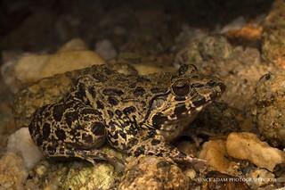IMG_0237-0(W) Crab-eating frog (Fejervarya cancrivora)