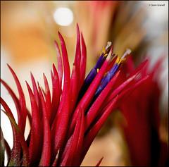 (2691) Tillandsia ionantha fuego (Air plant) (QuimG) Tags: tillandsias macro natura nature naturaleza flors flowers flores quimg quimgranell joaquimgranell