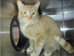 A657132 (yycpetrecovery) Tags: cat cas orangewhite foundsighted