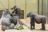2018-02-16-13h08m55.BL7R9451 (A.J. Haverkamp) Tags: akili canonef100400mmf4556lisiiusmlens shambe shindy amsterdam noordholland netherlands zoo dierentuin httpwwwartisnl artis thenetherlands gorilla sindy pobrotterdamthenetherlands dob03061985 pobamsterdamthenetherlands dob04092011 pobfrankfurtgermany dob16101994 nl