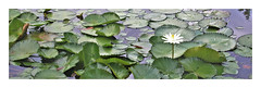 my lily (andangkosasih) Tags: leaves green lily flower
