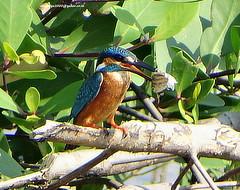 DSC00443 Common Kingfisher (Alcedo atthis) (vlupadya) Tags: greatnature animal aves fauna indianbirds common kingfisher alcedo kundapura karnataka
