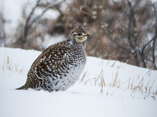 02 Sharp-tailed Grouse