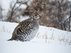02 Sharp-tailed Grouse (annkelliott) Tags: alberta canada swofcalgary goldeneaglestrip nature wildlife ornithology avian bird sharptailedgrouse tympanuchusphasianellus sideview listedinalbertaassensitive decliningnumbers firebird feathers pattern iucnstatusleastconcern mediumsizedprairiegrouse tree bush snow winter outdoor 17february2018 fz200 fz2004 panasonic lumix annkelliott anneelliott ©anneelliott2018 ©allrightsreserved