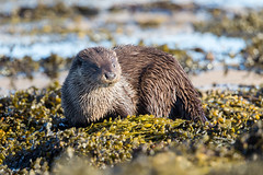 Otter (Simon Stobart) Tags: eurasian otter lutralutra weed sea water rock scotland coth5 naturethroughthelens ngc npc