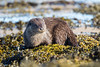 Otter (Simon Stobart) Tags: eurasian otter lutralutra weed sea water rock scotland coth5 naturethroughthelens ngc npc