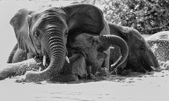 Bathing Pleasures (AnyMotion) Tags: africanelephant afrikanischerelefant loxodontaafricana elephants elefanten bath bad fun spass refreshment erfrischung 2018 anymotion tarangirenationalpark tanzania tansania africa afrika travel reisen animal animals tiere nature natur wildlife 7d2 canoneos7dmarkii bw blackandwhite sw ngc
