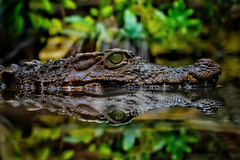 Caiman (u c c r o w) Tags: berlin zoo tiergarten aquarium reptile jungle water alligator crocodile uccrow animal sürüngen forest nature hunter eye eyes green macro reflection caiman