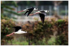 黑翅長腳鷸 Black-winged Stilt (Alice 2018) Tags: nature hongkong 2018 canonef300mmf4lisusm canoneos7d eos7d canon 300mm wetland white bird spring bokeh fly flying saariysqualitypictures aatvl01 aatvl02