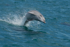 dolphin (leonardo manetti) Tags: animale acqua delfino mare sea dolphin water ocean animal animals mammals summer boat nikkor color colors blue grey nature wild natural wildlife