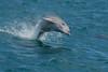 dolphin (leonardo manetti) Tags: animale acqua delfino mare sea dolphin water ocean animal animals mammals summer boat nikkor color colors blue grey nature wild natural wildlife