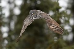 Great Gray in flight (jrlarson67) Tags: great gray grey owl raptor bird minnesota nikon bif strix nebulosa chouette lapone