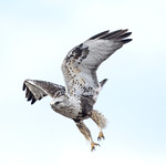 rough-legged hawk thumbnail