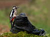 Great Spotted Woodpecker (TheApertureMan) Tags: woodpecker great spotted greater boot old shoe
