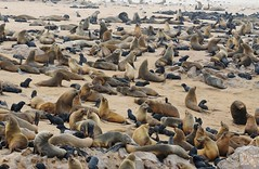 Seal Colony (anacm.silva) Tags: seal sealcolony capecrosssealreserve capecross wild wildlife nature natureza naturaleza africa áfrica dorobnationalpark namibia namíbia skeletoncoast focas seals coth5