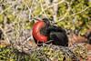 Frigatebird - Male 500_3916.jpg (Mobile Lynn) Tags: frigatebird birds nature wild bird fauna fregata wildlife northseymour galapagosislands ecuador ec coth specanimal coth5 ngc npc