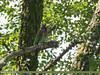 Great Barbet (Megalaima virens) (gilgit2) Tags: megalaimavirens avifauna birds canon canoneos7dmarkii category fauna feathers geotagged greatbarbetmegalaimavirens haripur imranshah kpk location neelanbhoto pakistan species tags tamron tamronsp150600mmf563divcusd wildlife wings gilgit2