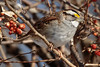 White-Throated Sparrow 1-7-2018-1 (Scott Alan McClurg) Tags: emberizidae passeri passeroidea zalbicollis zonotrichia animal back backyard bird delaware life nature naturephotography neighborhood perch perching portrait songbird sparrow suburbs whitethroated whitethroatedsparrow wild wildlife winter