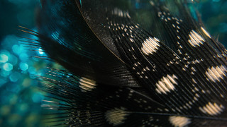 Speckled Feather