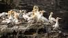 Gannetry, Noss (pstani) Tags: europe greatbritain noss scotland shetland bird fauna gannet
