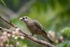 Sanhaçu-do-coqueiro (Tangara palmarum) Palm Tanager (Eden Fontes) Tags: riodejaneiro aves sanhaçudocoqueiro tangarapalmarum palmtanager jb rj jbrj jardimbotânico birds clausenaexcavata