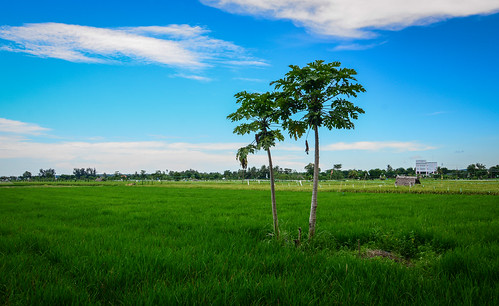 Rice field in Lombok, Indonesia