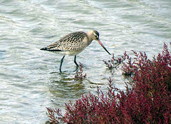 Godwit (Perseus1) Tags: lagoon widewater glasswort