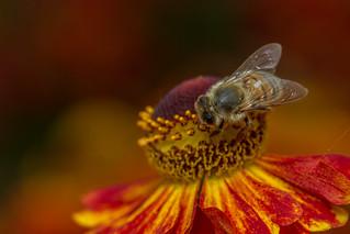 Western Honey Bee ( Apis mellifera)