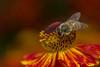 Western Honey Bee ( Apis mellifera) (markhortonphotography) Tags: markhortonphotography flower westernhoneybee insect sussexprairie orange garden honeybee hymenoptera wildlife thatmacroguy apismellifera westsussex helenium macro yellow bee invertebrate