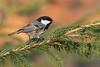 Mésange noire- Coal Tit (@Isa B) Tags: mesangenoire coaltilt mésange forêt bird oiseaux switzerland nikond4 500f4 bokeh wildanimal