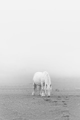 White on White (Fernando Guerra Velasco) Tags: blancoynegro horse caballo niebla clavealta