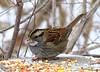 White-throated Sparrow (Lois McNaught) Tags: whitethroatedsparrow sparrow bird avian nature wildlife hamilton ontario canada