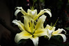 SKW_9464 (SK Wilcher Photography) Tags: longwoodgardens yellow nikon d7100