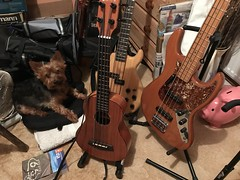 29 Jan 18 Ted. (@daz_reynolds) Tags: ted yorkie dog bass guitar electric ukulele home office