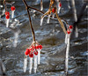 Matchsticks (soupie1441) Tags: london ontario canada red berries twigs ice water river nikon winter d7200 200500mm nikkor matches matchsticks