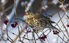 Mistle Thrush eating Guelder rose berry (tobyhoulton) Tags: bird wildlife nature mistle thrush snow cold winter toby houlton nikon d500