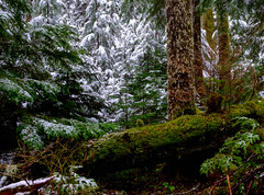Old Growth Forest (rich trinter photos) Tags: mountrainier winter ashford washington unitedstates us landscape oldgrowth trinterphotos snow