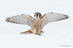 American Kestrel (Earl Reinink) Tags: photography photograph earl reinink earlreinink ontario bird animal falcon predator kestrel americankestrel winter snow cold wings zhaaoauaia
