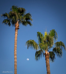 Palm Trees and the Moon (zirephotography) Tags: arizona beauty blue bluesky branch bright calm cloudless daylight floral green high landscape leaf moon natural nature outdoor palm palmtrees paradise plant relax season serene silhoutte sky space summer sunset tallwoman top tree trunk twopalmtrees vacation wood