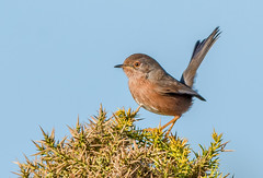 JWL0778  Dartford Warbler... (jefflack Wildlife&Nature) Tags: dartfordwarbler dartfords birds avian animal animals wildlife wildbirds warbler warblers songbirds countryside coastalbirds gorse heathland hedgerows copse norfolk nature ngc coth coth5 npc