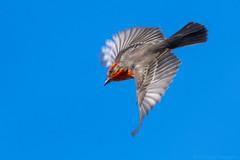 Diving (MerlinCD) Tags: flycatcher vermilion