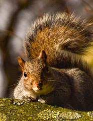 Parkwood Green squirrel feb 18 (philbarnes4) Tags: squirrel rodent tree branch wood dslr nikond550 philbarnes parkwoodgreen rainham gillingham kent england wildlife eyes tail whiskers ears