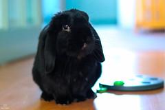 Bunji - 09.02.2018 (samward1507) Tags: rabbit animal frenchlop bunny bunnyrabbit houserabbit pet black cute