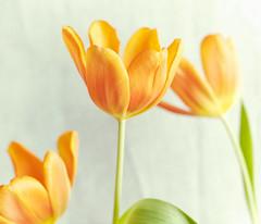 Springtime in Winter (macplatti) Tags: xt2 xf35mmf2rwr tulips tulpen springtime frühling orange colors koblach vorarlberg austria aut alienskinsoftware exposure3 agfacolor