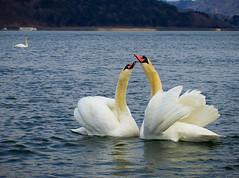 Love (julesnene) Tags: canon7dmark2 canon7dmarkii canonef35mmf14lusmlens happyvalentinesday japan juliasumangil julesnene love nature swan minamitsurugun yamanashiken jp travelgirljulia