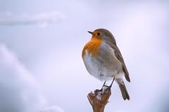 The Boss (Marc Andreu) Tags: rougegorge oiseau nature extérieur animal chanteur perché sol ground bird perched plumage hiver oiseauchanteur winter cold neige snow marcandreu andreumarc