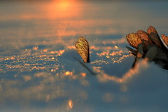 light the way (joy.jordan) Tags: snow maplekey samara texture light sunset bokeh winter nature
